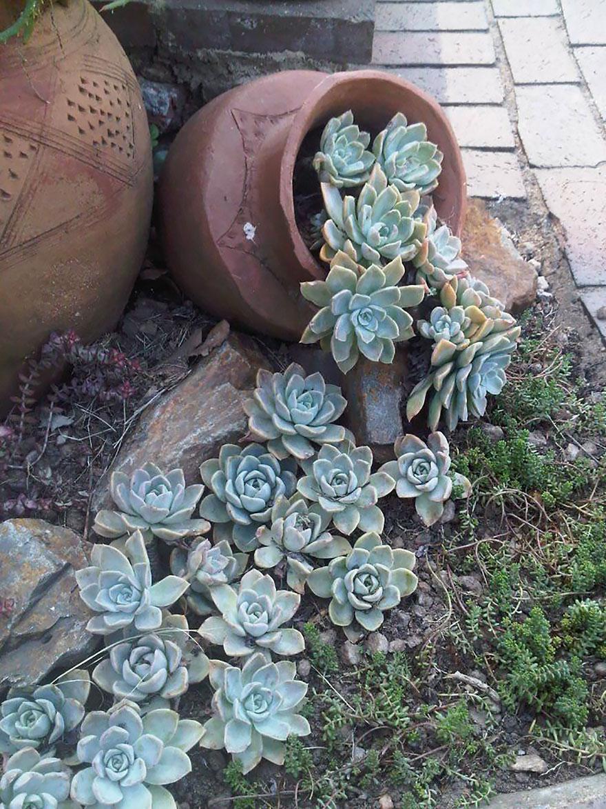 Суккуленты в саду-фото 8