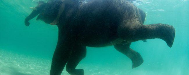 Cruel experiments have shown that most mammals can swim