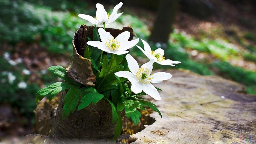 Весенние цветы-первоцветы