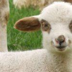 10632 Print stem cells biorock tested on sheep