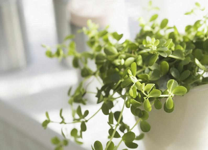 Эвкалипт-живые растения в доме