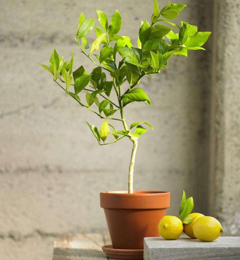 Лимонное дерево-фото