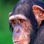 15318 Alzheimer's is a disease found in chimpanzees