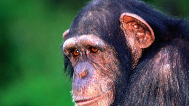 Alzheimer's is a disease found in chimpanzees